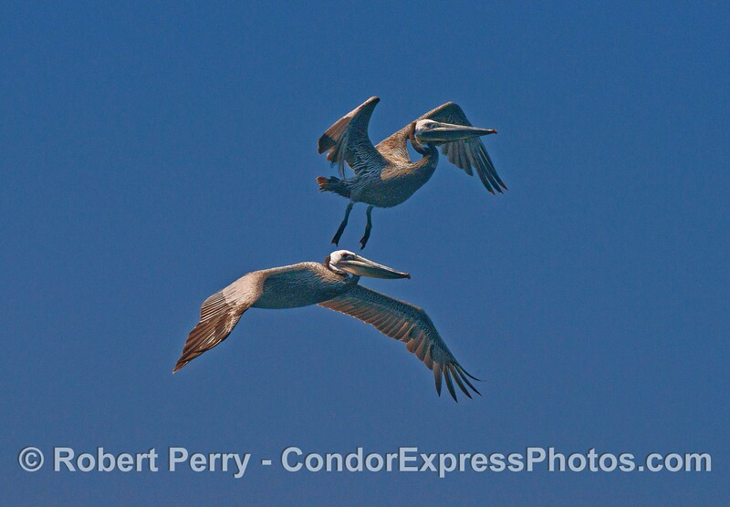 Two brown pelicans in flight