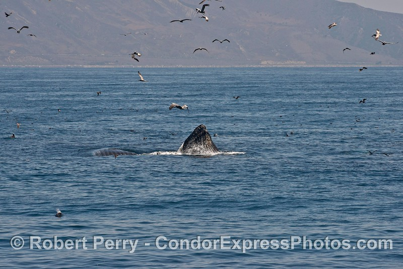 Two surface lunge feeding humpback whales - one lunging, one rolling on its back exposing its ventral grooves