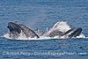 Two surface lunge feeding humpback whales with engorged ventral pouches begin to roll over and expel water