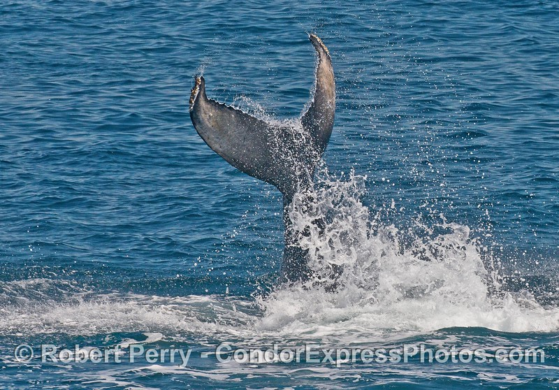 Humpback whale calf - tail slap marathon episode