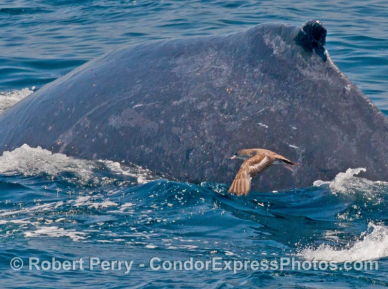 A sooty shearwater flies close to a humpback whale