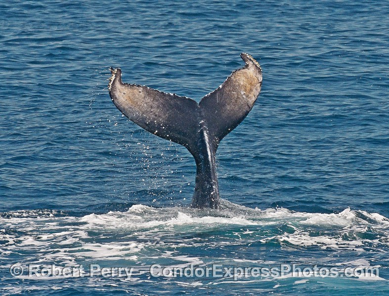 Humpback whale calf - tail slap marathon episode.  Note the unusual grayish color of the tail fluke undersides.