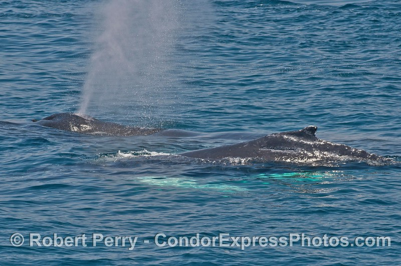 Mother and calf humpback whales both with white pectoral fins