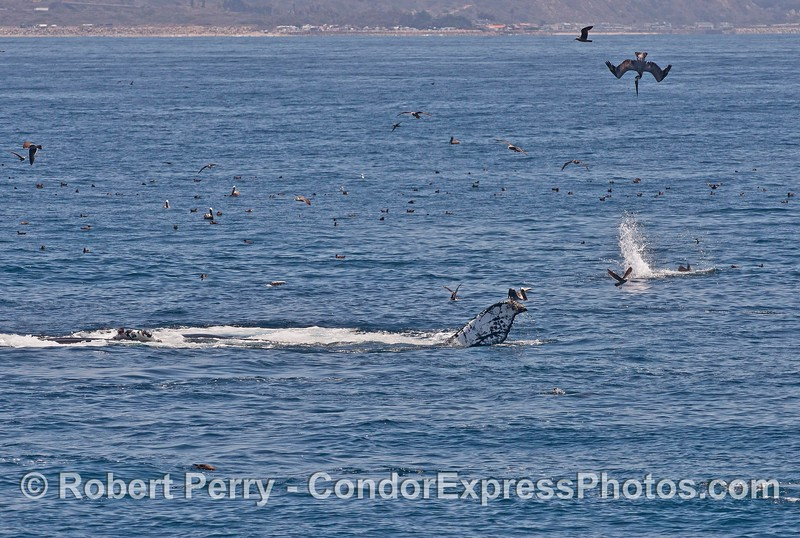 A rolling humpback and brown pelicans