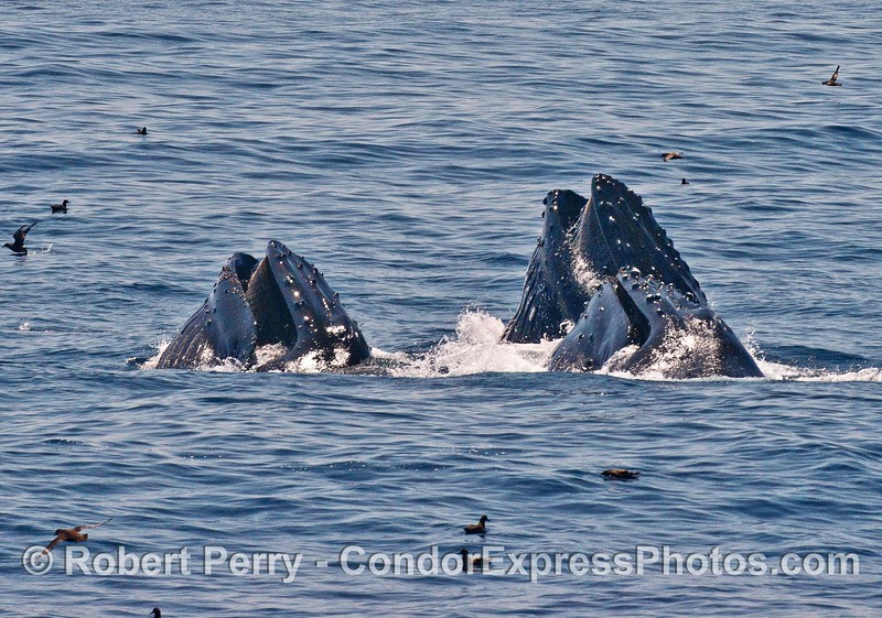 Three surface lunge-feeding humpback whales