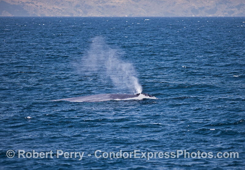 Like smoke in a breeze - a giant blue whale spouting in the wind.