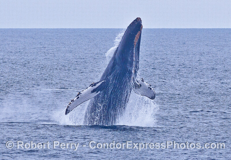 Image 1 of 3 in a row:   a humpback whale breaching sequence.  Unlike many breaches, this animal did it right-side-up!