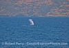 First sighting of a very tall spout - a giant blue whale at Santa Cruz Island.
