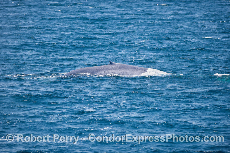 Blue whale dorsal fin - short and sweet.