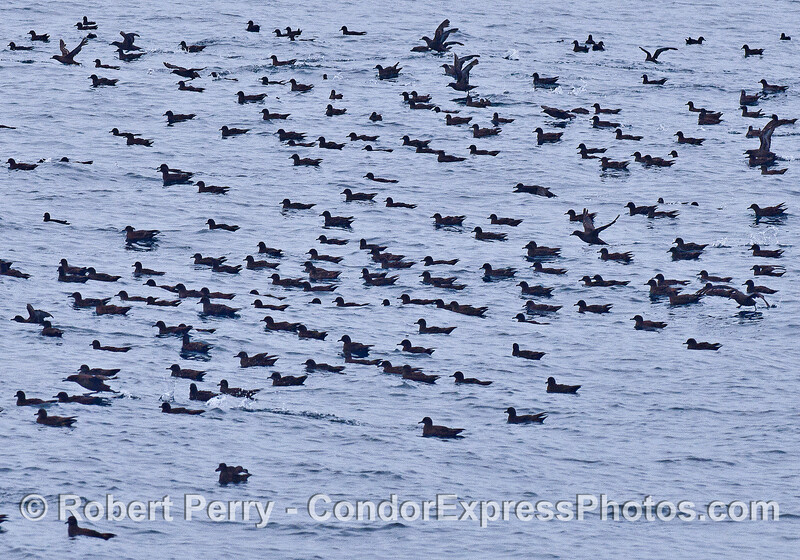 A small portion of a large flock of sooty shearwaters sitting on the surface after a feeding hot spot subsides.