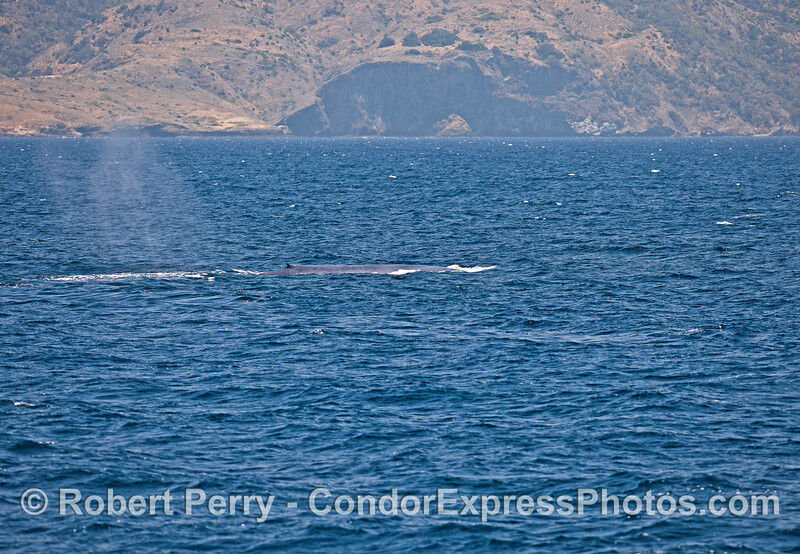 About 1/3rd of the body of this giant blue whale is shown with Santa Cruz Island in back.