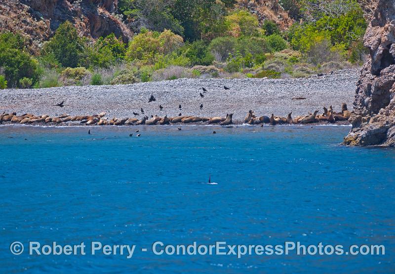 California sea lions hauled out in the sun on a cobble beach at Santa Cruz Island.