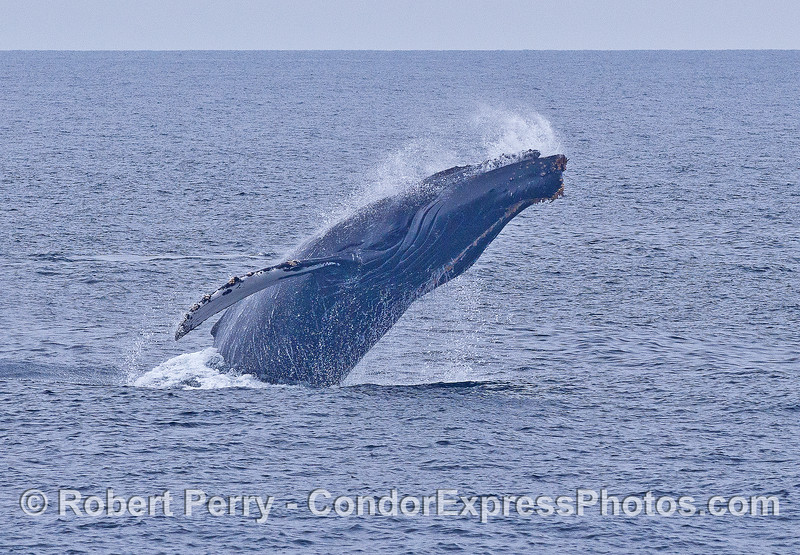 Image 2 of 3 in a row:   a humpback whale breaching sequence.  Water exits the mouth and the eye is visible.