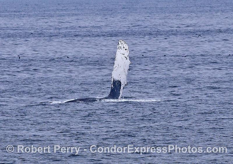 Humpback whale pectoral fin slap.