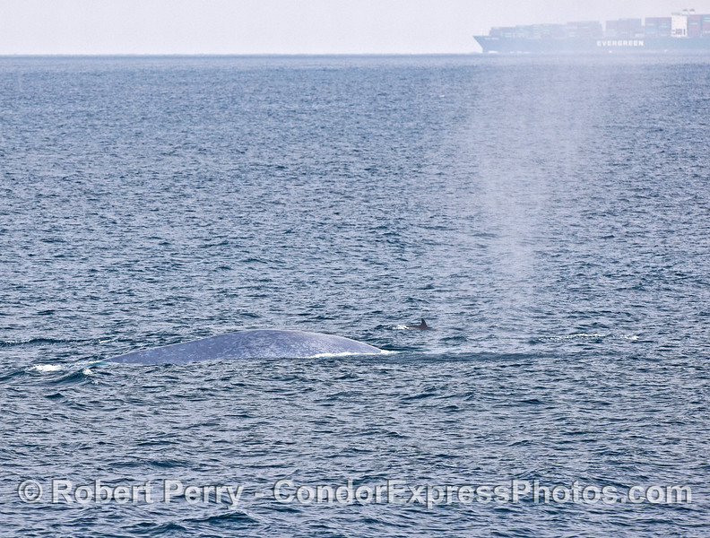 Blue whale, common dolphin and container ship