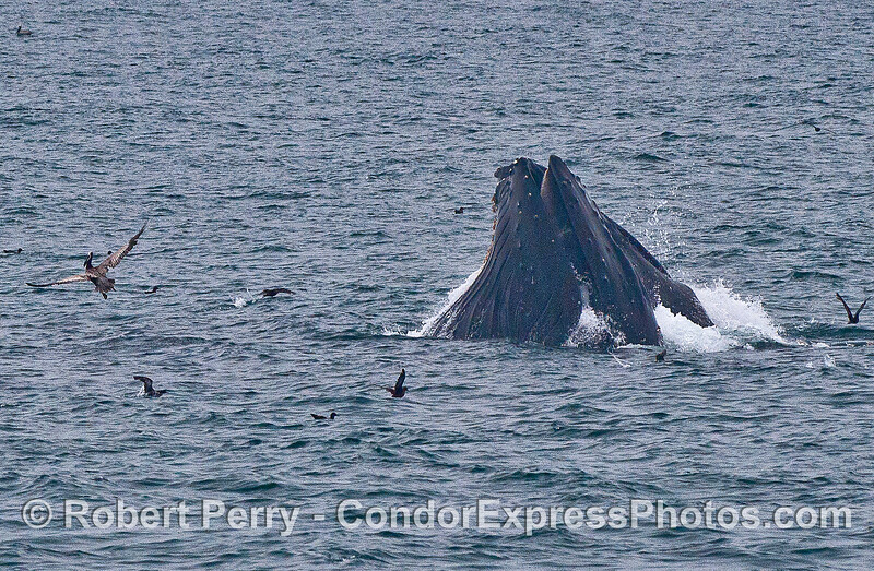 Image 1 of 2:  two humpback whales (one is in back of the other and hard to see) surface lunge feeding