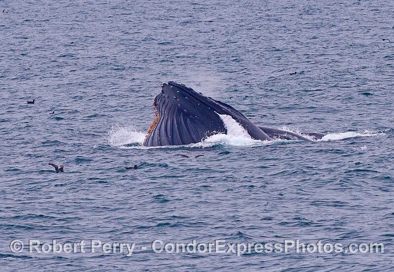 Image 2 of 2:  two humpback whales (one is in back of the other and hard to see) surface lunge feeding