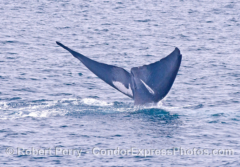 A giant blue whale tail fluke with unique white patches underneath