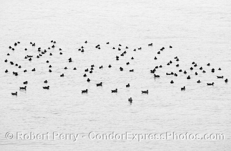 Black and white:   part of a sooty shearwater flock on the surface - resting, moulting, digesting, waiting...