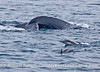 Common dolphins and a tail-fluking humpback whale