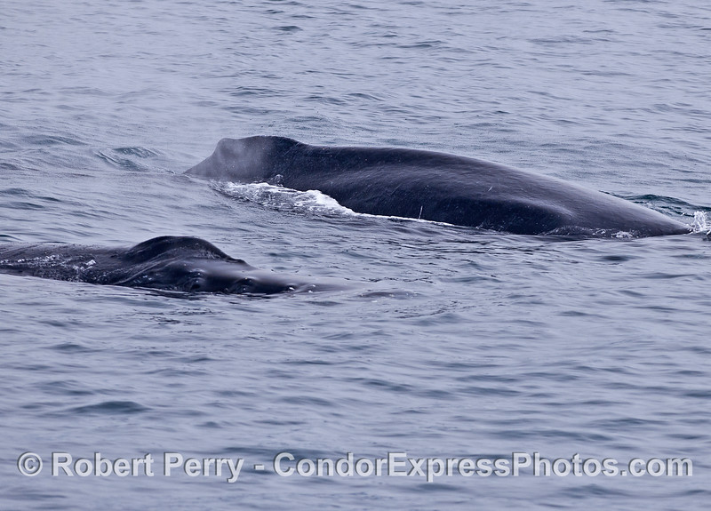 A pair of large, adult humpback whales
