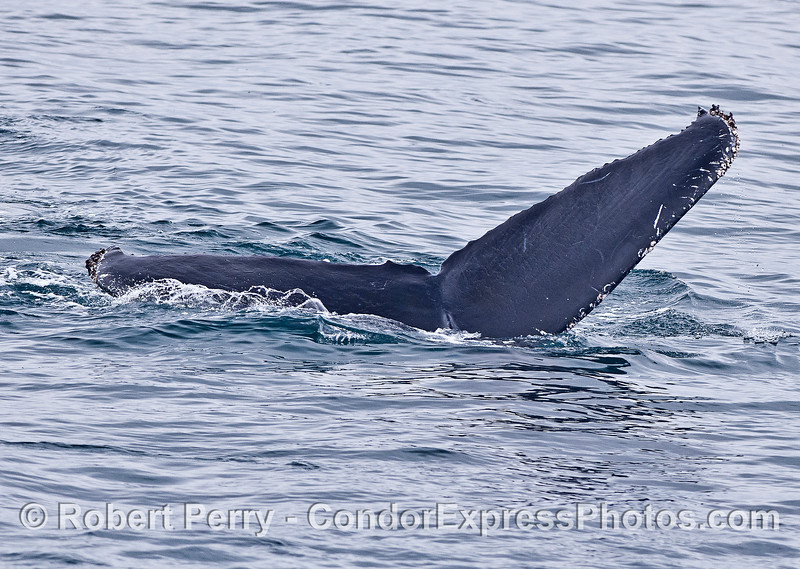 Tail flukes at an angle - whales don't always dive straight down