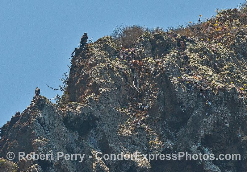 Two peregrine falcons perched atop the sea cliffs at Santa Cruz Island (northwest coast)