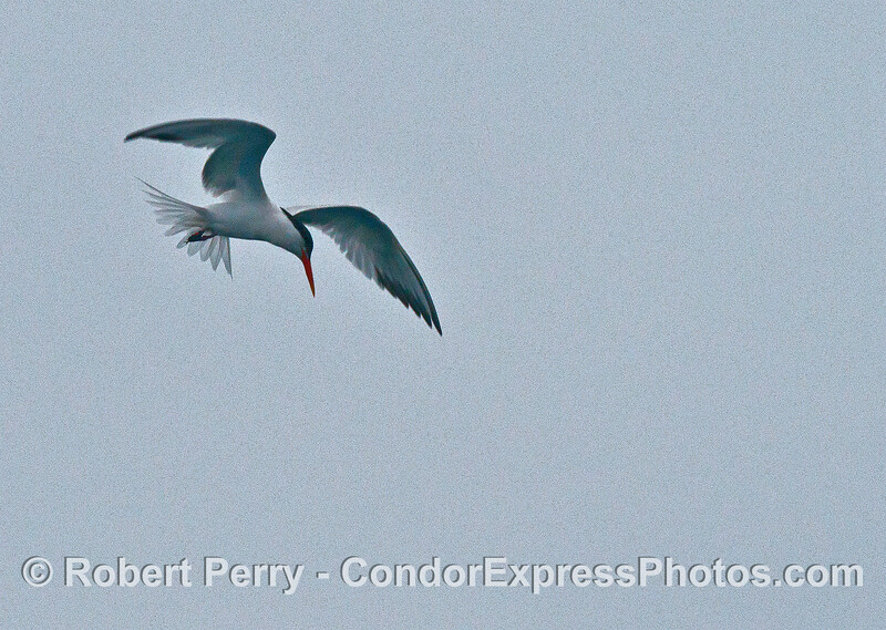 An elegant tern takes a look down into the water to pick out an anchovy target