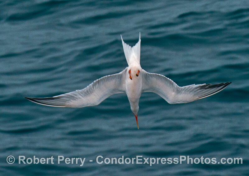 An elegant tern hunting  - crash-diving to catch an anchovy