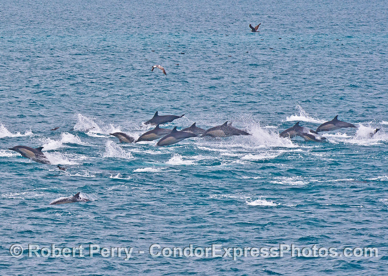 On the move!   A common dolphin stampede