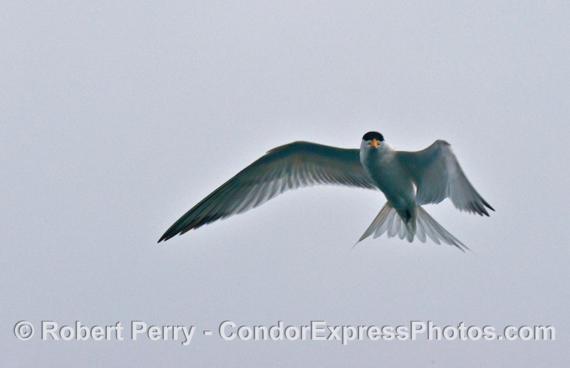 An elegant tern in flight