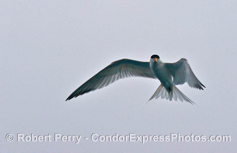 An elegant tern in flight