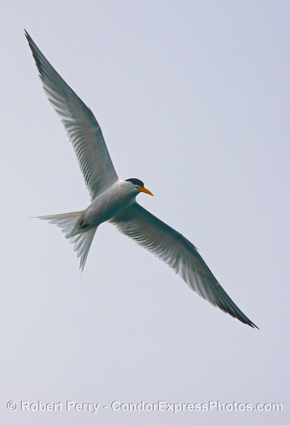 An elegant tern hunting  - in flight.