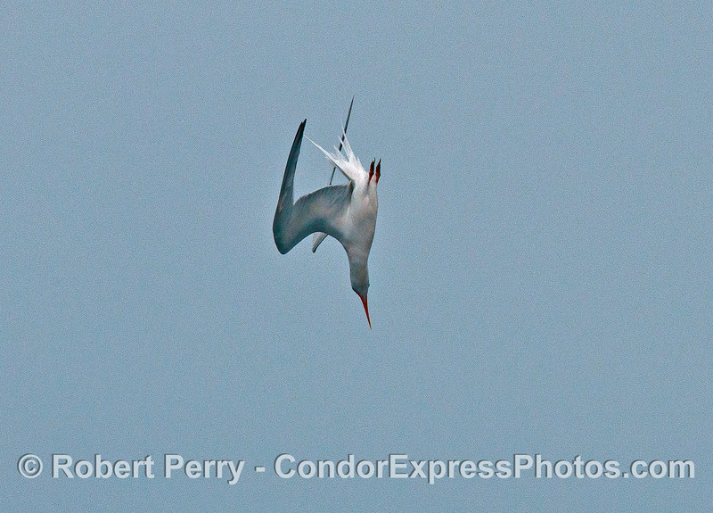 Elegant tern crash dive