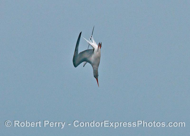 Elegant tern crash dive