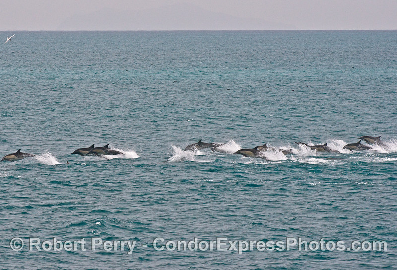 "A ""stampede"" of long-beaked common dolphins"