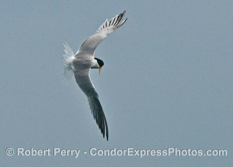 An elegant tern changes direction in mid-air as it hunts anchovies in the ocean below
