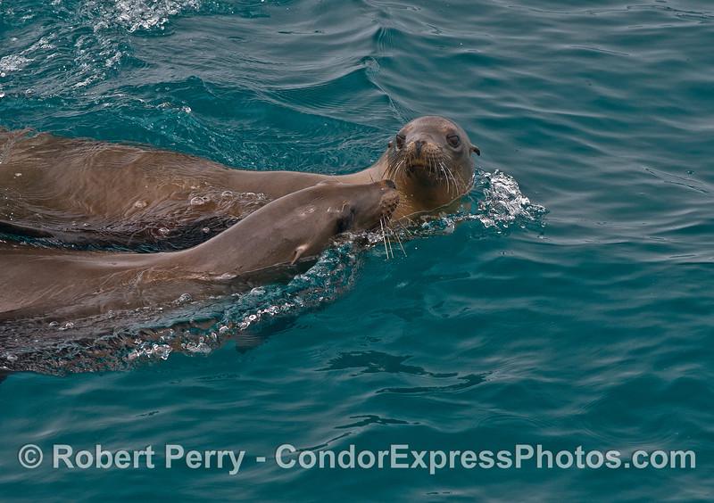 Two California sea lions interacting