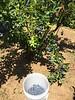 Picking Blueberries on Sauvie Island