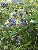 Blueberries & Cousins