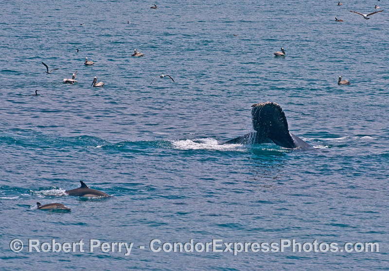 Common dolphins and a humpback whale tail