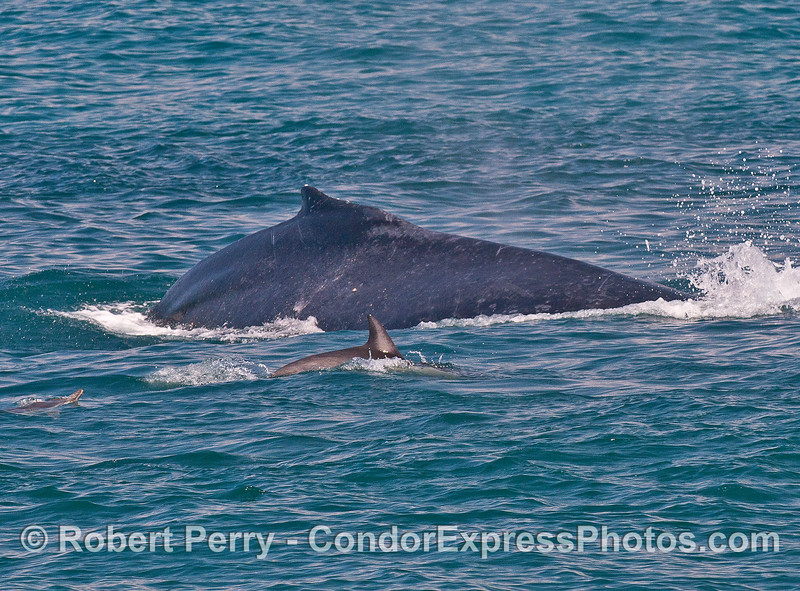 Humpback whale and common dolphin, side by side