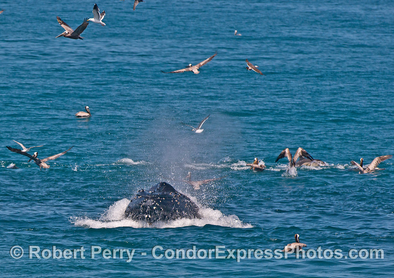 Humpback whale surface lunge feeding with brown pelicans everywhere