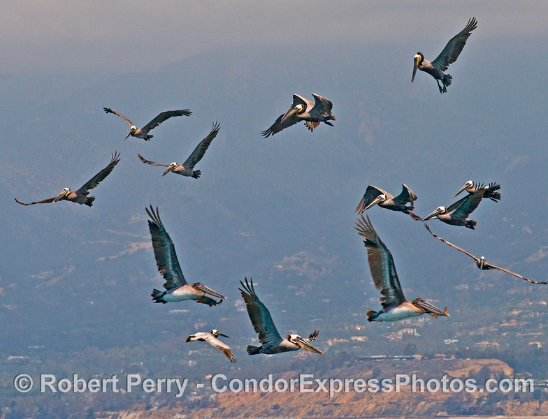 Brown pelicans in flight, hovering over an oceanic hot spot