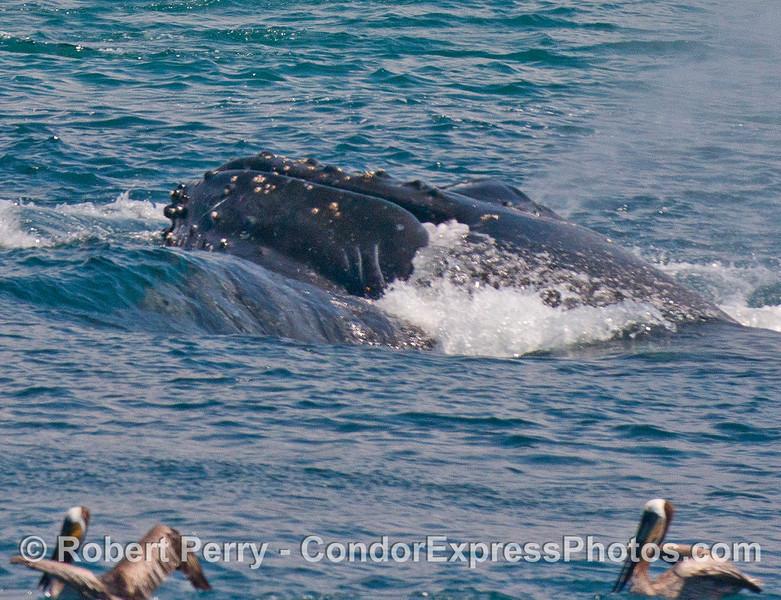 A lunge-feeding humpback whale