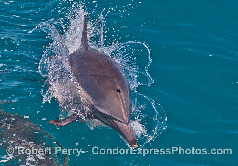 Close up view of a leaping common dolphin