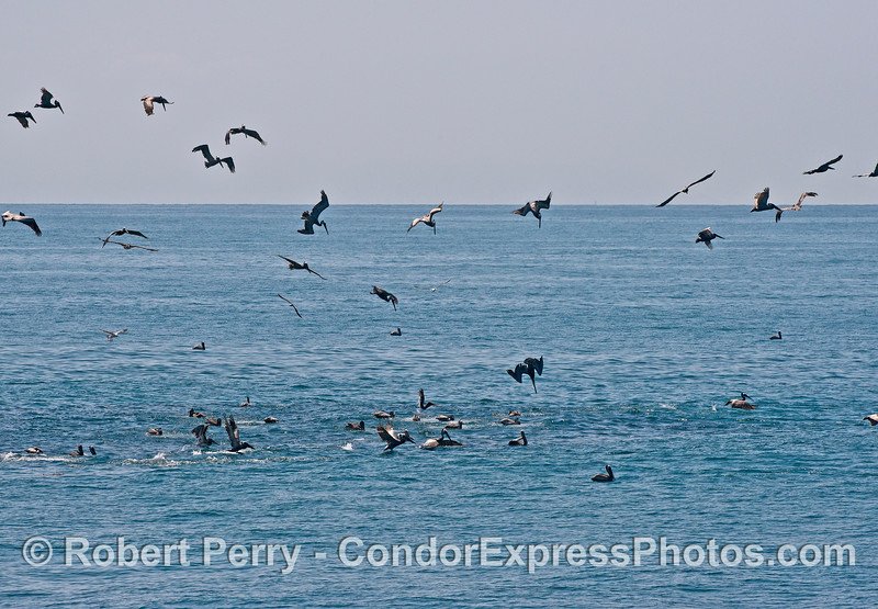 Image 1 of 2:  Pelicans diving on a hot spot