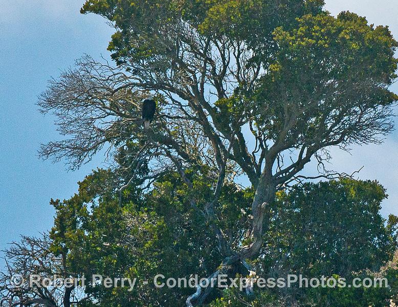 Bald eagle in a tree, atop the sea cliffs - Santa Cruz Island