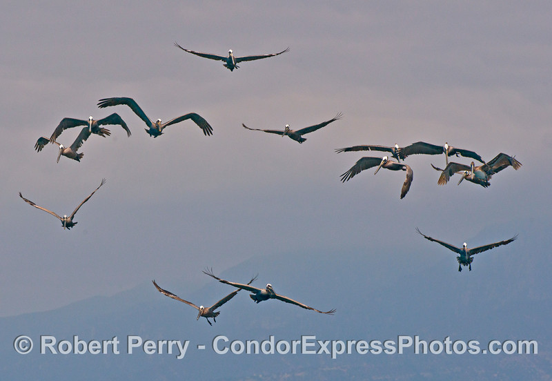 Brown pelicans hang in the air above an oceanic hot spot