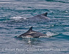 Cetacean buddies - dorsal fins of a humpback whale and common dolphin.